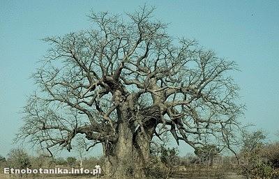 Baobab afrykański - Adansonia digitata