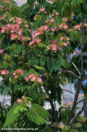 Albicja jedwabista (Albizia julibrissin)