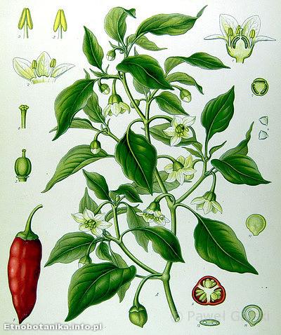 Papryka roczna (Capsicum annuum)