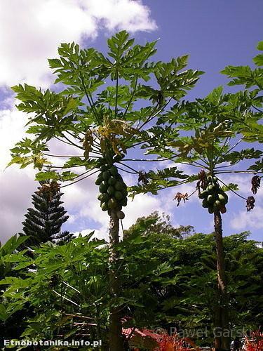 Melonowiec właściwy, papaja (Carica papaya)