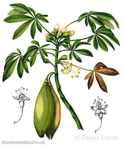 Puchowiec pięciopręcikowy (Ceiba pentandra)