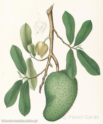 Flaszowiec miękkociernisty, guanabana (Annona muricata)