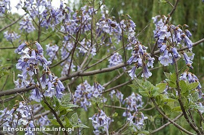Paulownia puszysta (Paulownia tomentosa)