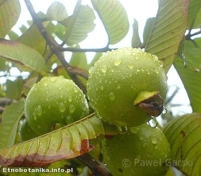Gujawa właściwa (Psidium guajava)