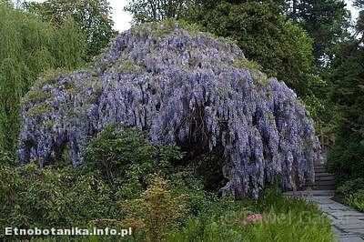 Glicynia chińska (Wisteria sinensis)